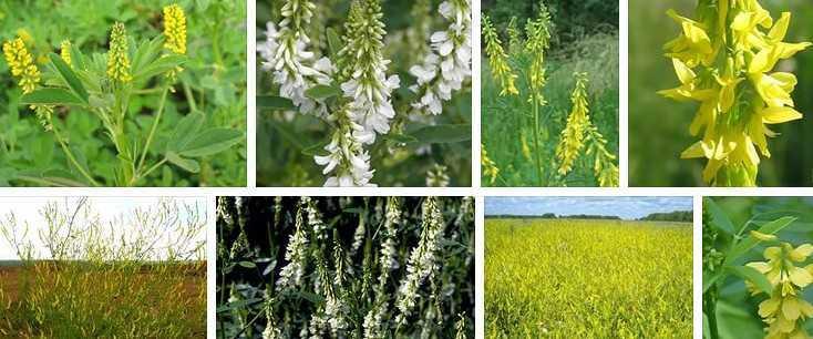Фотографии травы донник