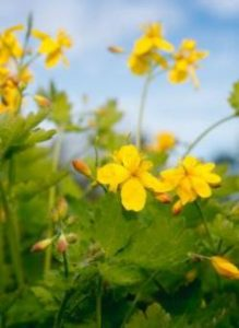 Лечебные свойства цветов чистотела