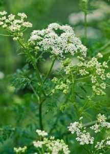 Растение - Болиголов