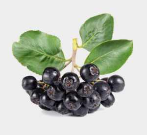 Черноплодная рябина - ветка плода