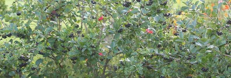 Черноплодная рябина в саду