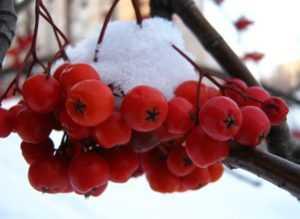 Красная рябина зимой