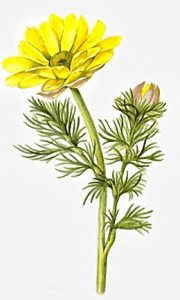 Адонис - цветок растения