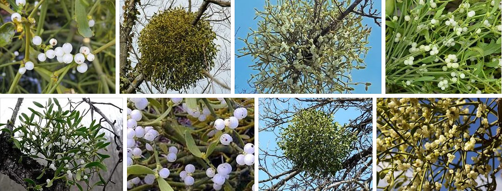 Фотографии белой омелы