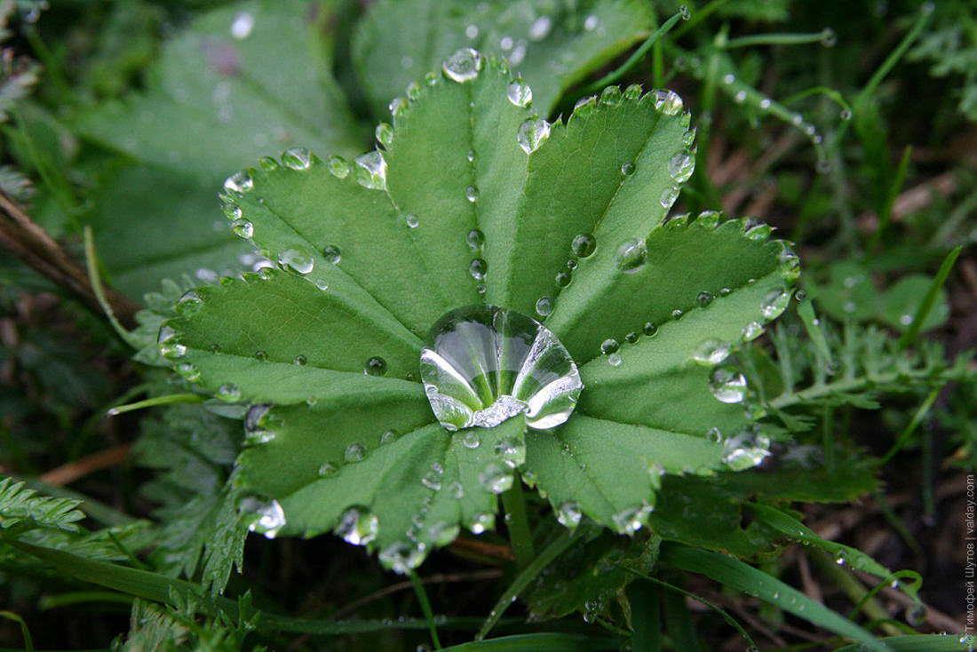 лекарственная трава манжетка