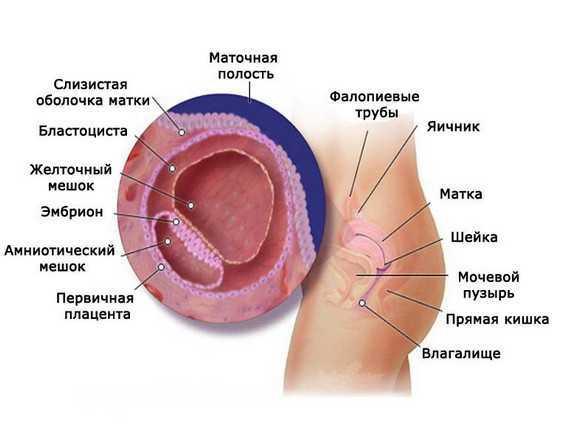 Анатомия женская