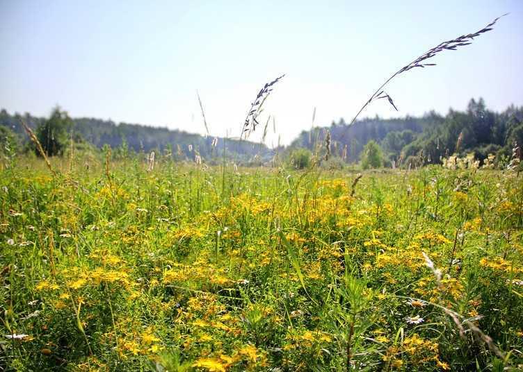 Зверобой трава и ее лечебные свойства
