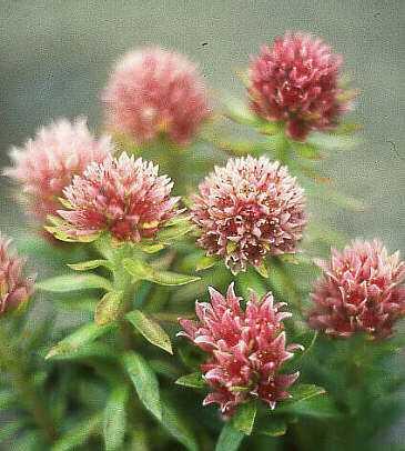 цветки родиолы розовой