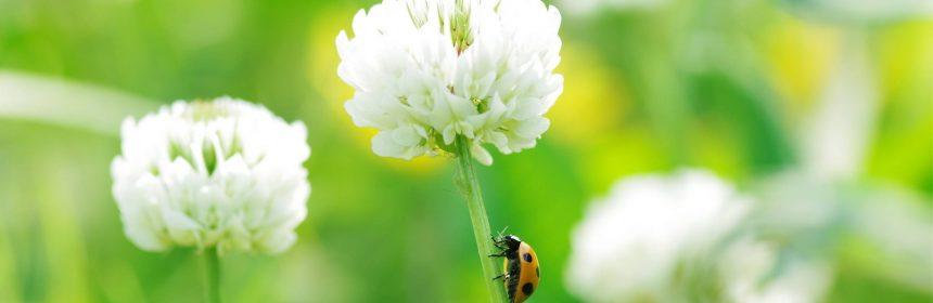 Цветы клевера полезные свойства