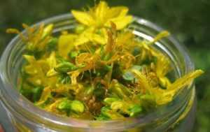 зверобой трава лечебные свойства рецепты со зверобоем