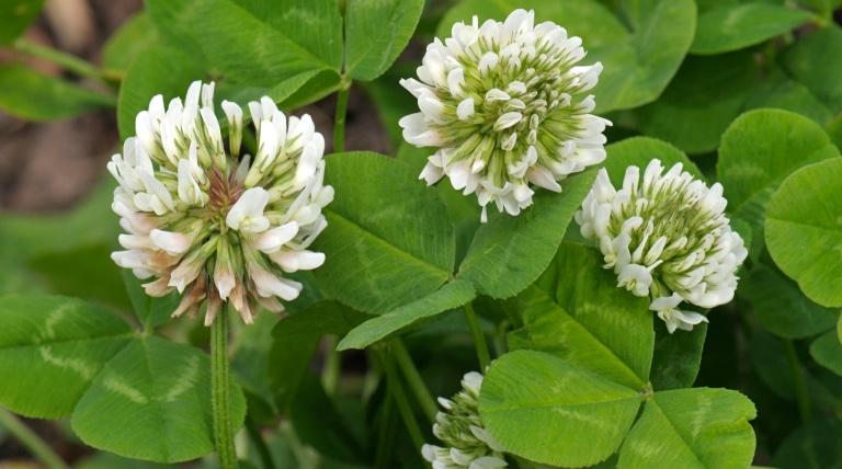 цветки белого клевера